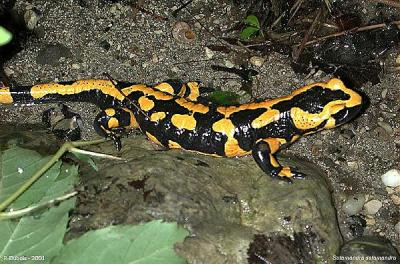 20071207223413-salamandra-salamandra-terrestris-4.jpg