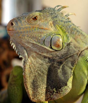 20090225140633-iguana-136.jpg