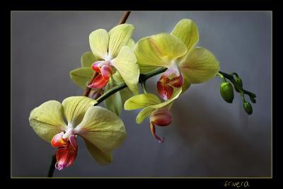 20071231193426-orquideas.jpg