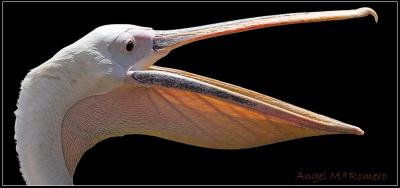20100423020421-pelicanos.-angel-m.-romero.jpg